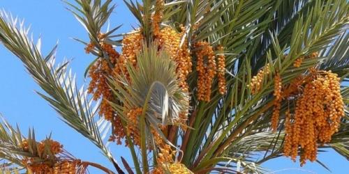 palmier-dattier-maroc.jpg