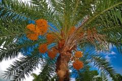 palmier-dattier.jpg