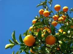fellahtrade_orange_tree.jpg