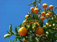 fellahtrade_orange_tree.jpg