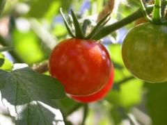 culture-tomate.jpg