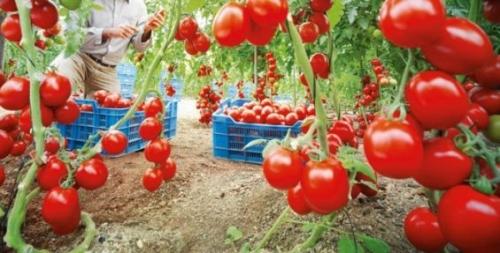 culture-tomate-Maroc.jpg