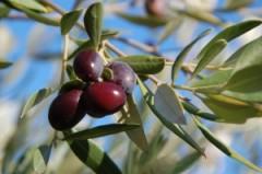 olives-fellah-trade-2013.jpg